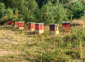 Hives at the Heather